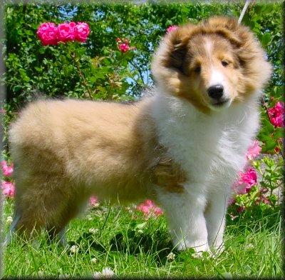 A Sable & White Starswept ® Sheltie Puppy ©