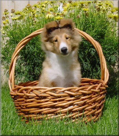 A Typical Starswept ® Sheltie Puppy ©